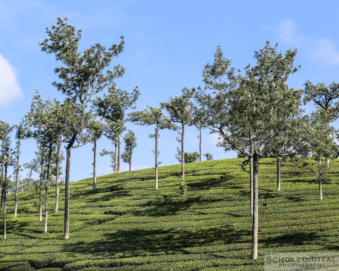 Kumily, Teeplantage, Kerala, Tamil Nadu, Indien,  Thekkady